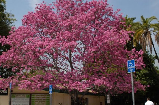 Westchester pink trumpet tree